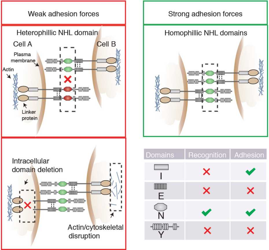 Membrane receptors in cell adhesion biophysics group eth zurich teneurins are evolutionarily conserved transmembrane receptors that function as axon guidance and target selection molecules in ccuart Images